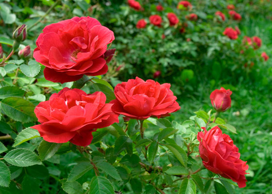 garden-design-&build-red-flowers